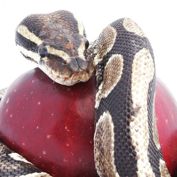 Snake and apple metaphor for sales manager sins